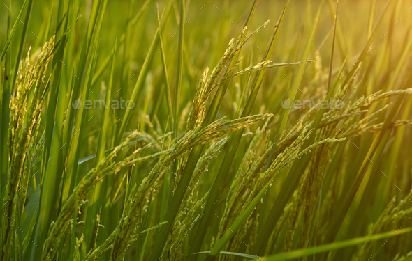 The rice paddy of organic farm - Stock Photo - Images