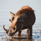 Brown hairy warthog - PhotoDune Item for Sale