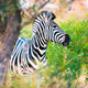 Plains zebra (Equus quagga) profile view - PhotoDune Item for Sale