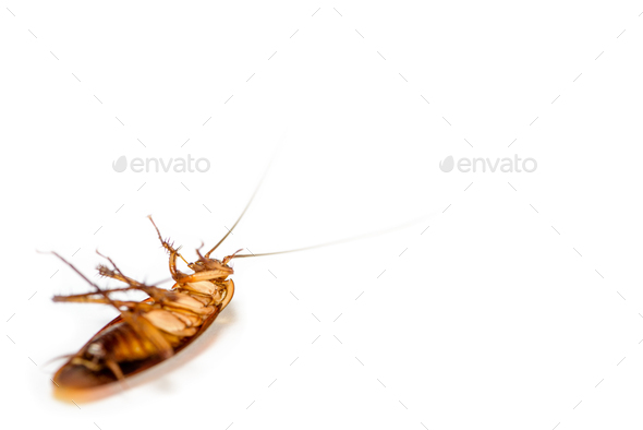 Close up cockroach dead on white background - Stock Photo - Images