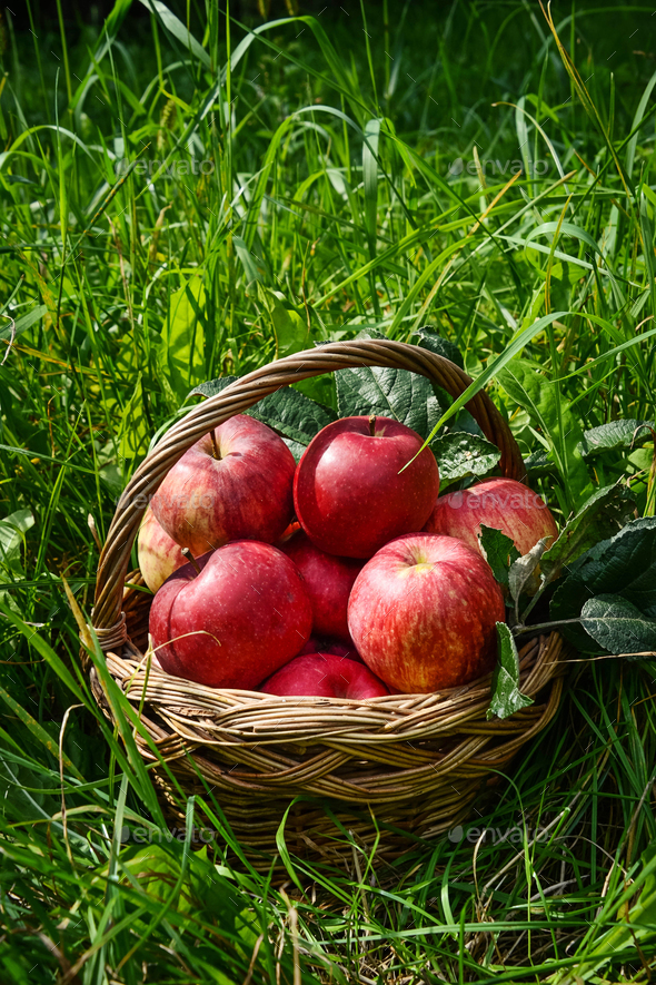 Red ripe apple in basket - Stock Photo - Images