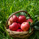 Red ripe apple in basket - PhotoDune Item for Sale