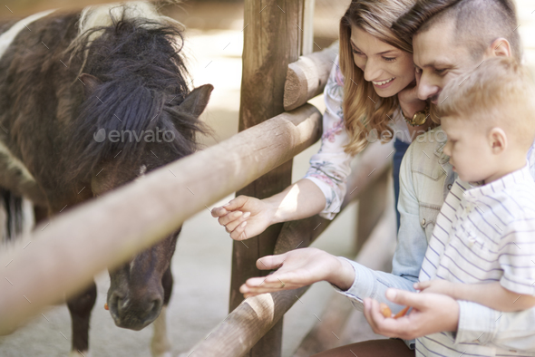 Feeding little horse at the zoo - Stock Photo - Images