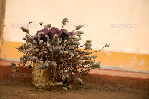 Outdoor potted plant, Tanzania, Africa - Stock Photo - Images