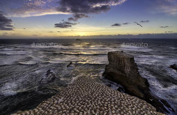 New Zealand muriwai beach gannet birds - Stock Photo - Images