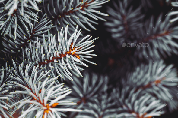 Background a texture furry tree branches for a Christmas card - Stock Photo - Images