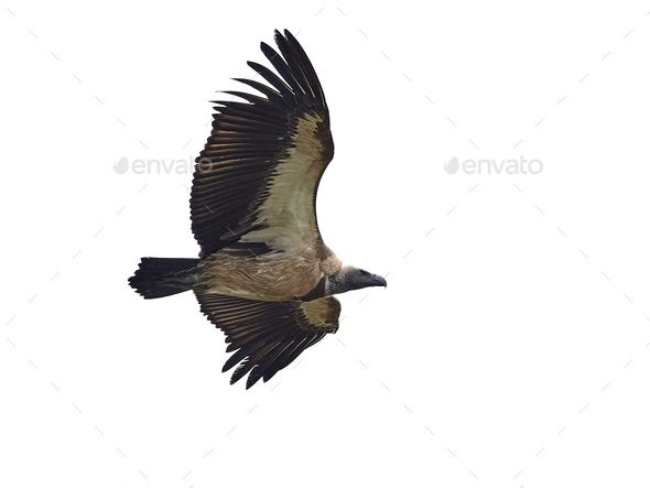 White-backed vulture (Gyps africanus) - Stock Photo - Images