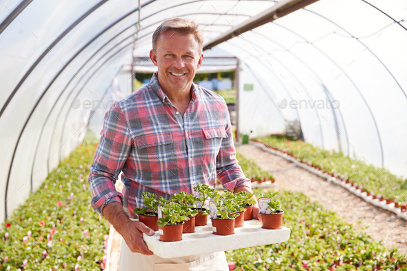 Portrait Of Mature Man Working In Garden Center Greenhouse Holding Tray Of Seedlings In Pots - Stock Photo - Images