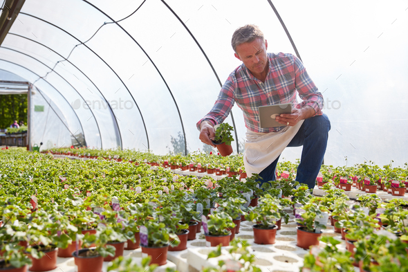 Mature Man Working In Garden Center Greenhouse Holding Digital Tablet And Checking Plants - Stock Photo - Images
