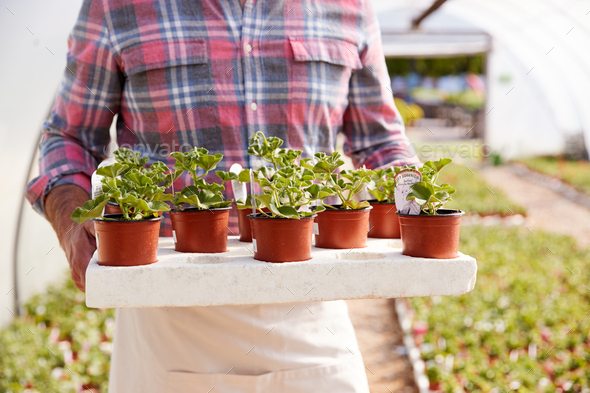 Close Up Of Mature Man Working In Garden Center Greenhouse Holding Tray Of Seedlings In Pots - Stock Photo - Images