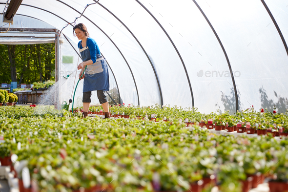 Mature Woman Working In Garden Center Watering Plants In Greenhouse - Stock Photo - Images
