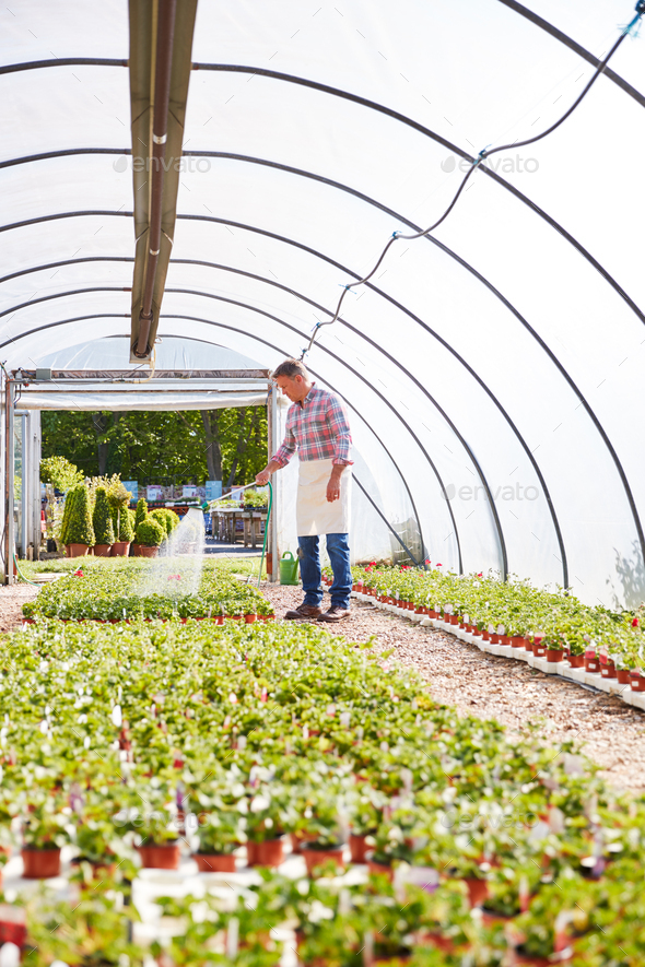 Mature Man Working In Garden Center Watering Plants In Greenhouse - Stock Photo - Images