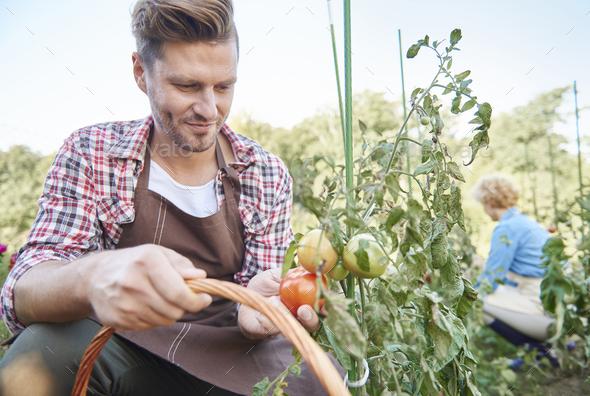 Man harvesting organic tomatoes in backyard - Stock Photo - Images