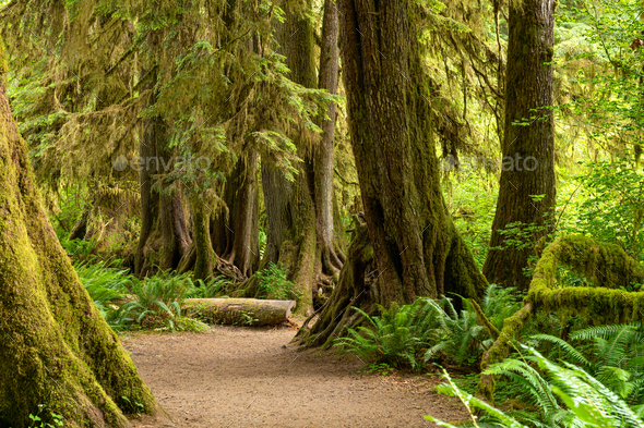 Hall of Mosses in the Hoh Rainforest of Olympic National Park, W - Stock Photo - Images