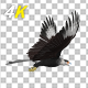Caracara Hawk - 4K Flying Transition - 01 - VideoHive Item for Sale