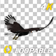 Caracara Hawk - 4K Flying Loop - Back Angle - VideoHive Item for Sale