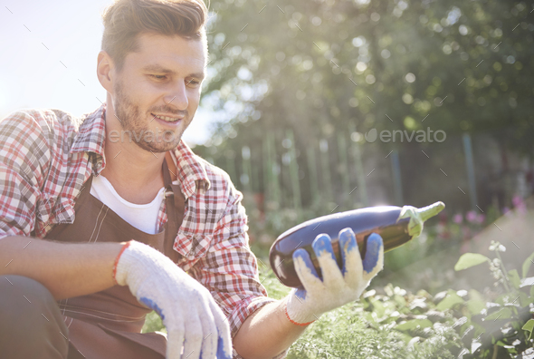 Picture of man with harvested eggplant - Stock Photo - Images