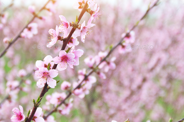 Spring violet flowers on tree. - Stock Photo - Images