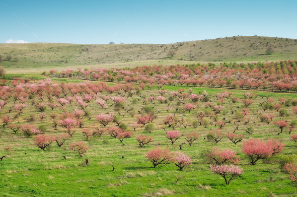 Orchard blooming trees. - Stock Photo - Images