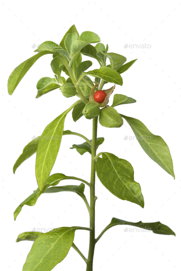 Ashwagandha plant with red berry - Stock Photo - Images