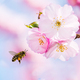 Bee flying to pink cherry blossoms - PhotoDune Item for Sale