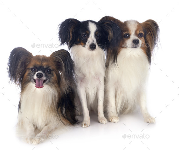 papillon dogs in studio - Stock Photo - Images
