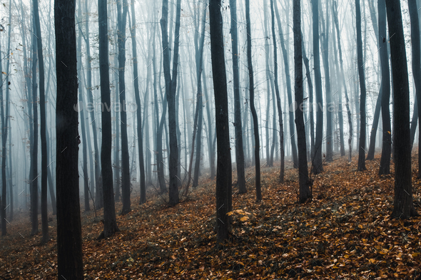 tall trees in fog in forest - Stock Photo - Images