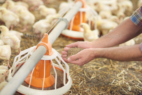 Adding some pasture to the feeder - Stock Photo - Images