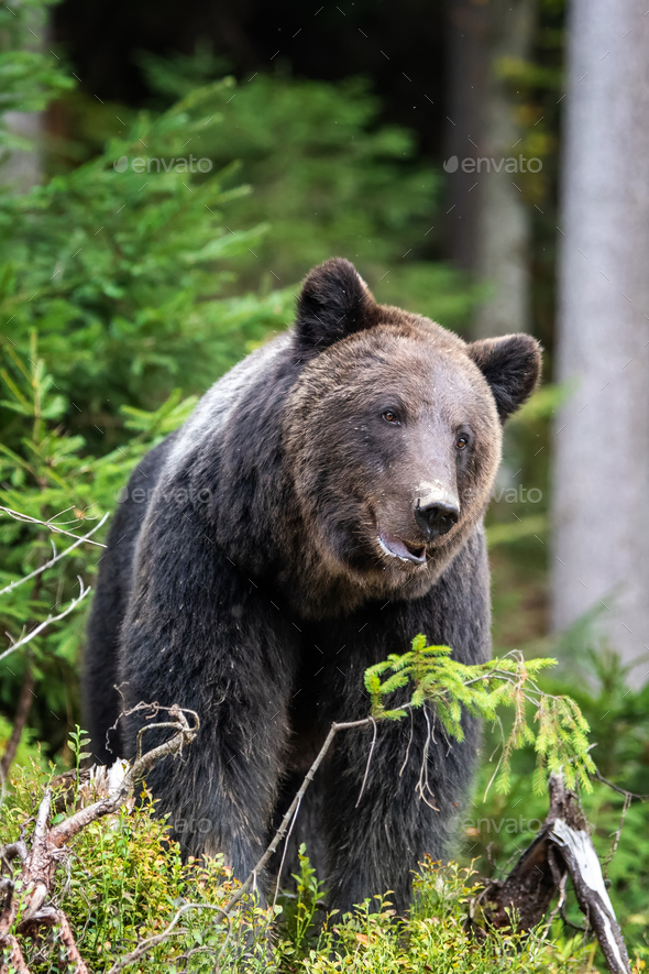 Brown bear in autumn forest - Stock Photo - Images