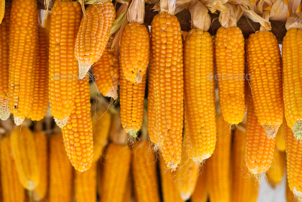 Cobs of corn drying in the open air - Stock Photo - Images