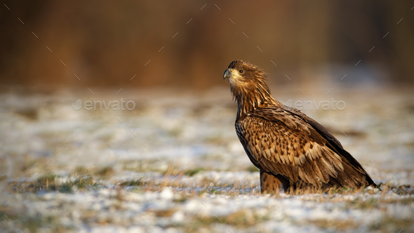 Juvenile white-tailed eagle, haliaeetus albicilla, in winter sitting on a snow - Stock Photo - Images