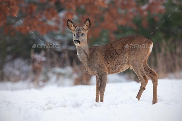 Roe deer, capreolus capreolus, in deep snow in winter - Stock Photo - Images