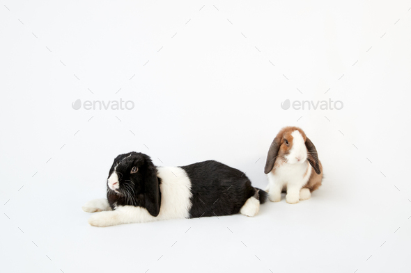 Studio Portrait Of Two Miniature Black And White Flop Eared Rabbits On White Background - Stock Photo - Images