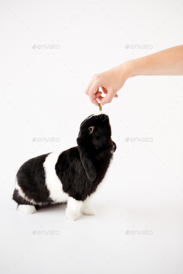 Hand Feeding Miniature Black And White Flop Eared Rabbit With Treat Against White Background - Stock Photo - Images
