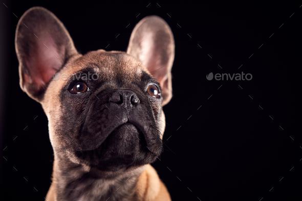 Studio Portrait Of French Bulldog Puppy Against Black Background - Stock Photo - Images
