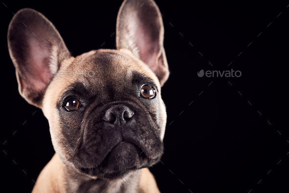 Studio Portrait Of French Bulldog Puppy Against Black Background - Stock Photo - Images