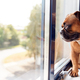 Bulldog Puppy Wearing Collar Looking Out Of Office Window - PhotoDune Item for Sale
