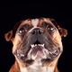 Studio Portrait Of Bulldog Puppy Against Black Background - PhotoDune Item for Sale