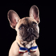 Studio Portrait Of French Bulldog Puppy Wearing Bow Tie And Collar Against Black Background - PhotoDune Item for Sale