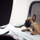 Humorous Shot Of French Bulldog Puppy Sitting In Chair At Desk Looking At Computer - PhotoDune Item for Sale