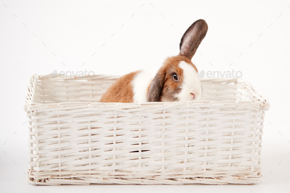 Studio Shot Of Miniature Brown And White Flop Eared Rabbit Sitting In Basket Bed On White Background - Stock Photo - Images
