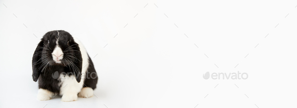 Studio Portrait Of Miniature Black And White Flop Eared Rabbit Sitting On White Background - Stock Photo - Images