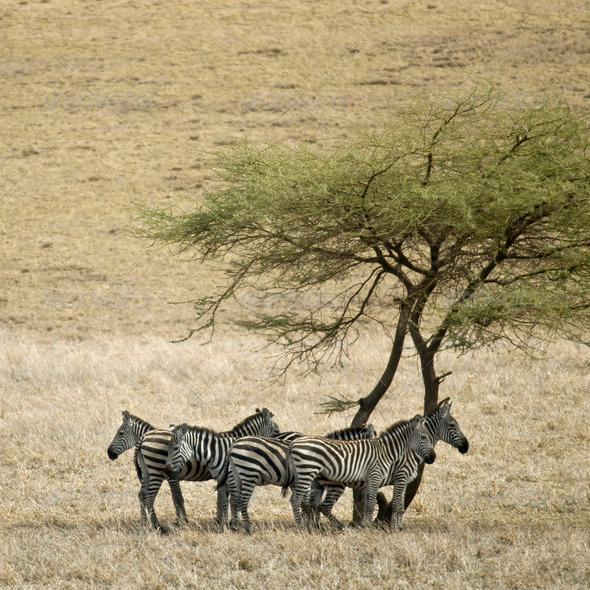 Zebra in the Serengeti, Tanzania, Africa - Stock Photo - Images