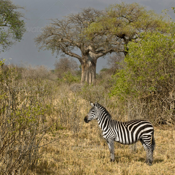 Side view of zebra standing in grassland, Tanzania - Stock Photo - Images