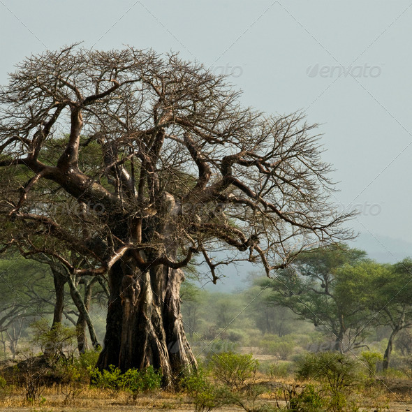 Baobab tree in landscape, Tanzania, Africa - Stock Photo - Images