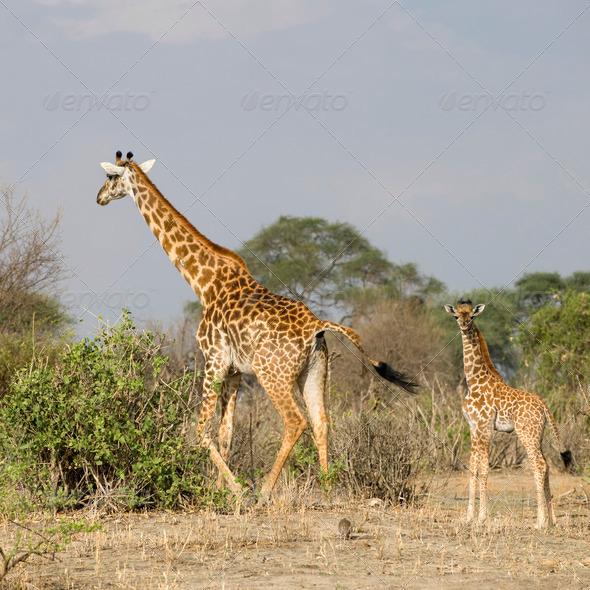Giraffes walking in the Serengeti, Tanzania, Africa - Stock Photo - Images