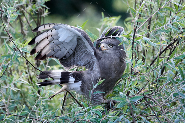 Western Banded Snake-eagle (Circaetus cinerascens) - Stock Photo - Images