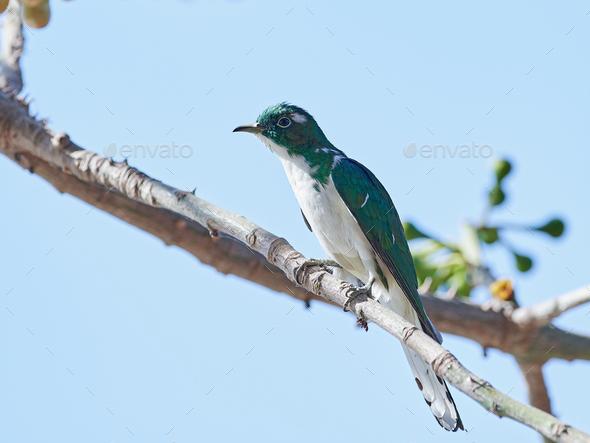 Klaas's cuckoo (Chrysococcyx klaas) - Stock Photo - Images