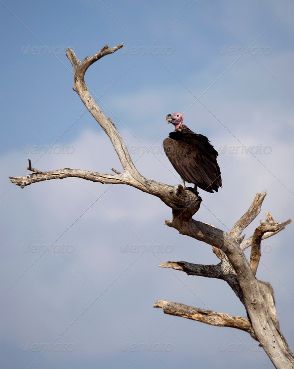 Lappet-faced Vulture, Torgos tracheliotos, perched on branch - Stock Photo - Images