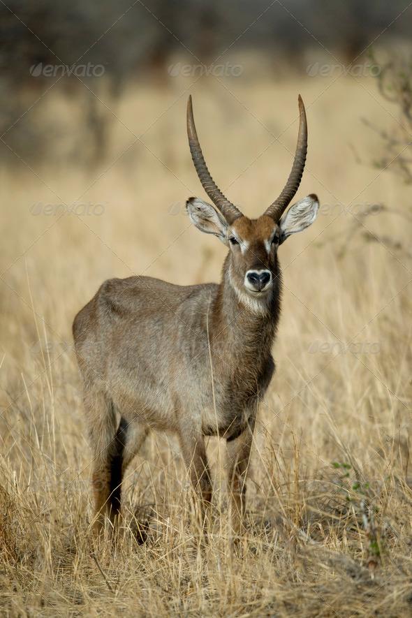 Waterbuck standing in grassland, Tanzania, Africa - Stock Photo - Images
